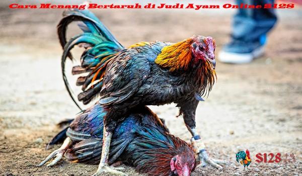 Cara Menang Bertaruh di Judi Ayam Online S128